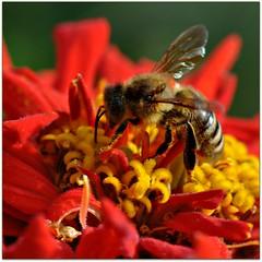 At work (Stella Blu) Tags: red flower macro insect bee thumbsup gamewinner stellablu nikkor105mmf28gvrmicro 15challengeswinner favescontestwinner a3b fotocompetition fotocompetitionbronze nikond5000 gamex2winner herowinner storybookwinner gamex3winner pregamewinner storybookttwwinner favescontestfavored