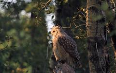 Great Horned Owl (K Fletcher) Tags: canada calgary bird great raptor alberta owl horned