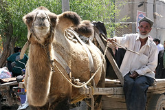 Camel cart in Yapchan tuesday market (aygulmipo) Tags: people village market camel tuesday uighur xinjiang  uyghur bazaar           yapchan