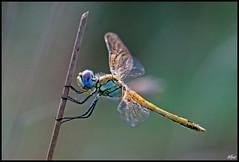 Sympetrum fonscolombi (alfvet) Tags: macro nikon dragonflies ngc natura libellule sigma150 platinumheartaward macromarvels mygearandme mygearandmepremium mygearandmebronze mygearandmesilver mygearandmegold mygearandmeplatinum blinkagain flickrstruereflection2 flickrstruereflection3 rememberthatmomentlevel4 rememberthatmomentlevel1 rememberthatmomentlevel2 rememberthatmomentlevel3 unlimitedinsectslevel1 unlimitedinsectslevel2 unlimitedinsectslevel3