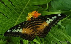 Parthenos Sylvia (PhotoLanda) Tags: parthenossylvia butterfly mariposa eukaryota mariposariogranada landahlauts andalusia אנדלוסיה andaluzio андалусия ανδαλουσία アンダルシア州 parque ciencias museo غرناطة arbonaida منطقةالأندلسذاتيةالحك europa europe ciencia consorcioparquedelasciencias اندلس 安達魯西亞 ანდალუსია 안달루시아지방 แคว้นอันดาลูเซีย андалузија science museum park animalia insecta arthropoda hexapoda andaluzia أندلوسيا andaluz الأندلس andalouzia andalusie andalusiya parquedelascienciasdeandalucia sciencemuseum parquedelasciencias andalusien 安達魯西亞自治區 アンダルシア 安达卢西亚 安達盧西亞 andalucía lepidopteros lepidoptero lepidoptera lepidopteras buttefly andaluzja グラナダ granada منطقةحكمذاتيالأندلس منطقةالأندلسذاتيةالحكم আন্দালুসিয়া κοιμητήριον андалуси андалусія andalousie insecto