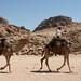 Os camelos pernudos