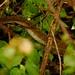 Black Mamba, a cobra mais venenosa da Africa
