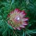 Protea-flor simbolo da Africa do Sul (Foto Leones)
