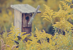 What's This? {Explored} (cherrygurl) Tags: fall yellow goldenrod birdhouse explored nikond3100 september142012