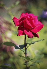 September Rose (A Great Capture) Tags: plant toronto ontario canada flower rose garden backyard ourgarden on ald ash2276 ashleyduffus ashleylduffus wwwashleysphotoscom