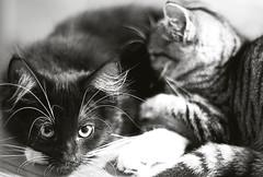 Gemenskap (EvasSvammel) Tags: cats kitten together fellowship gemenskap