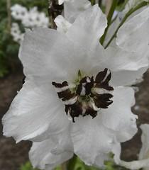 Delphiniums (anthonyfalla) Tags: flower petals center delphinium