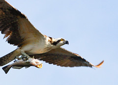 osprey fishlarge-2727 (minds-eye) Tags: fish bird florida prey osprey gtmnerr