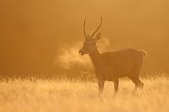Red Deer (Cervus elaphus), London (Oscar Dewhurst (dewie1994)) Tags: light red mist male london sunrise dawn golden nikon stag breath young deer condensation backlit reddeer antler oscardewhurst
