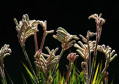 kangaroo paws (helenoftheways) Tags: flowers plants nightshot archive kangaroopaws