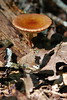 Mushroom (photographerp) Tags: macro nature mushroom florida wildlife fungus nikon105mmf28g leoncounty nikond80 detritivore fortbradentrails laketalquinstateforest robertgundy