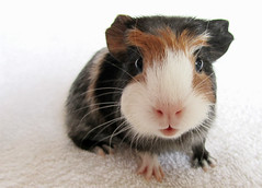 piggle (f1uffster (Jeanie)) Tags: baby cute fur nose guinea pig guineapig eyes furry fluffy ears lips whiskers pup sow