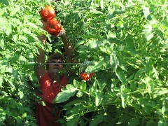 Huge Tomatoes (Spray-N-Grow) Tags: tomatoplant organicvegetables organictomatoes growingtomatoes plantnutrients naturalfertilizer sprayngrow healthytomatoes vegetablefertilizer organictomatofertilizer