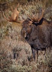 North American Moose (Turk Images) Tags: mammal wyoming grandtetonnationalpark cervidae alcesalces northamericanmoose