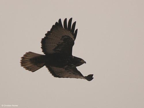 Photo - Hawk