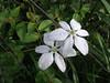 Flor Estrellita (Milla biflora) (elvhr) Tags: flower whiteflower flor morningdew estrellita florblanca starshapedflower rociodelamañana punhuato millabiflora flowerwithdew florconrocio flordeestrella