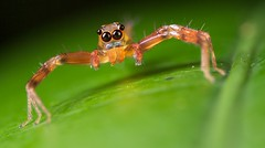 Jumping spider (2) (pbertner) Tags: park macro zeiss paul rainforest national jungle micro biology madagascar macrography marojejy antalaha 5dmarkii 5dii bertner pbertner pbertnerwordpresscom