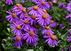 Michaelmas daisies (SteveJM2009) Tags: uk flowers autumn light sun colour daisies garden flora focus dof purple border september dorset 90 aster 2012 stevemaskell kingstonlacy michaelmasdaisy 112in2012