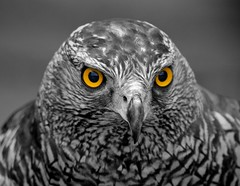 Falcon  -  Selective Colour  DSC_3114 (tdcphotos) Tags: friends blackandwhite bw bird monochrome yellow eyes looking watching beak feathers nostril falcon stare predator pupil birdofprey carnivore selectivecolour greatphotographers specanimal nikonflickraward theworldofnatureaward greaterphotographers greatestphotographers