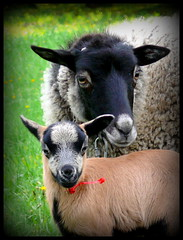 Family (stempel*) Tags: animal sheep little poland polska polen polonia koza mazowsze owca mazovia ubno gambezia