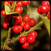 Shine On - Red Diamonds (Øyvind Bjerkholt (Thanks for 50 million+ views)) Tags: red nature berries grimstad dømmesmoen