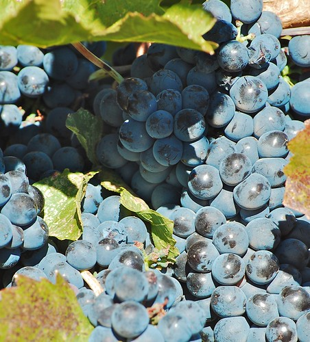 Syrah grapes at Il Gioiello Winery, Big Crush