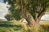 Wind & Willows (feldauge) Tags: longexposure summer blur wind willow hohenkirchen thesecretlifeoftrees