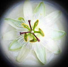 White Passion Flower (judy dean) Tags: judydean 2016 sonya6000 flower passiflora passionflower white climber garden