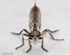 K46A6990wz (Yvonne23021984) Tags: makro marco makrofotografie photography marcrophotography insects insekten fliege fly closeup nahaufnahme nahaufnahmen canon canoneos7dmarkii canonphotography