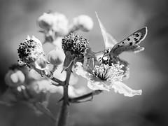 Papillon (steph20_2) Tags: papillon butterfly fleur flower panasonic gh3 m43 proxy macro closeup insecte insect tamron sp90 oise monochrome monochrom noir noiretblanc ngc blanc black bw white skanchelli