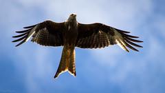 Milan royal (t0umt0um) Tags: milan royal red kite oiseaux birds wales pays de galles bwlch nant yr arian canon 600d 70300 extrieur animal paysdegalles bwlchnantyrarian