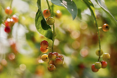 ah, summertime! (marianna_away for a while) Tags: summer cherries fresh fruit bokeh cluster tree bunch red juicy vibrant mariannaarmata