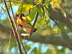 American Redstart HDR 02-20160822 (Kenneth Cole Schneider) Tags: florida miramar westbrowardwca