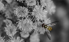 'The colour in you' (Anthony Goodall) Tags: insect hoverfly blackandwhite selectivecolour wings nature macro macrotubes miracleconspiracy anthonygoodall flower