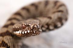 STZ_2711fb (szugic) Tags: snake viper viperidae venom poison vipera viperaberus berus bosniensis sarka montenegro