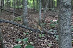 Chipmunk (HungLam1980) Tags: lemoinepoint kingstonontario woods tree leaves chipmunk