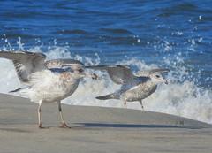 SMOOTH LANDING (Lori Garske) Tags: gull seagulls sandyhook birds ocean lorigarske sand