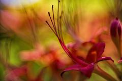 The colors of summer (WilliamND4) Tags: flowers meyeroptikgoerlitztrioplanf28100lens nikon d610 macro extensiontube bokeh