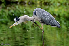 Grey Heron (parry101) Tags: caerphilly castle view south wales grey heron herons bird birds anima