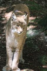 Luchs (c4harry) Tags: chattengau edersee wald kellerwald wildtierpark kosystem luchs