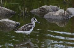 Common Greenshank / Gluttsnppa / Tringa nebularia (G.Claesson) Tags: bird vogel fgel vadare wader watvgel sverige sweden