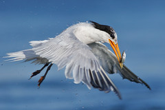 Love those feet! (bmse) Tags: elegant tern bolsa chica fish fishing take off bmse salah baazizi wingsinmotion canon 7d2 400mm f56 l