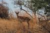 60 - Tipo de cabra montesa en la costa Granadina (dreyphotos) Tags: gacela granada animales animal