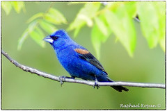 I got the blues (RKop) Tags: a77mk2 600mmf4apogminolta armlederpark cincinnati ohio raphaelkopanphotography bluegrosbeak sony