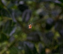 little yellow spider ... (Anyore) Tags: spider web araigne toile insecte arachnide
