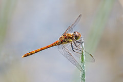 Male Common Darter.... (klythawk) Tags: commondarter sympetrumstriolatum male reed summer nature red orange yellow green brown blue grey black white olympus em1 omd 100400mm panasonic claypitnaturereserve wildlifetrust sssi wilford nottingham klythawk