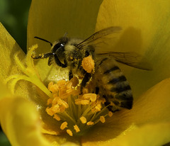 Bee_SAF3576 (sara97) Tags: bee copyright2016saraannefinke flyinginsect insect missouri nature outdoors photobysaraannefinke pollinator saintlouis towergrovepark urbanpark wildlife