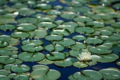 Water Lilies (Sean Anderson Media) Tags: garden sonya7rii tmountlens retrolens 135mm fullframe ndthrottle fotodiox f28 water lakeflowers serene nature shallowdof waterflowers chicagobotanicgarden botanicgarden outdoor lake waterlily lilypad dof