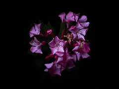 245 #365 (erkua) Tags: flash fuji fujinon fujifilm flower flores yn568ex yn622c yn622ctx strobist xf35mm